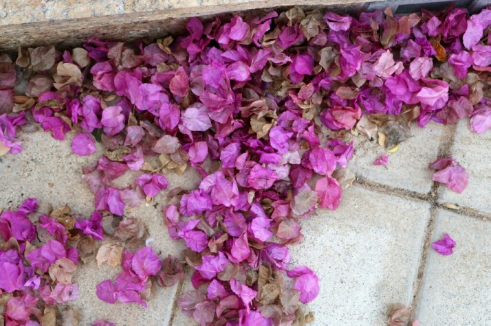 Bougainvillea, medicinal effects, ornamental use, nature, flowers, photograph