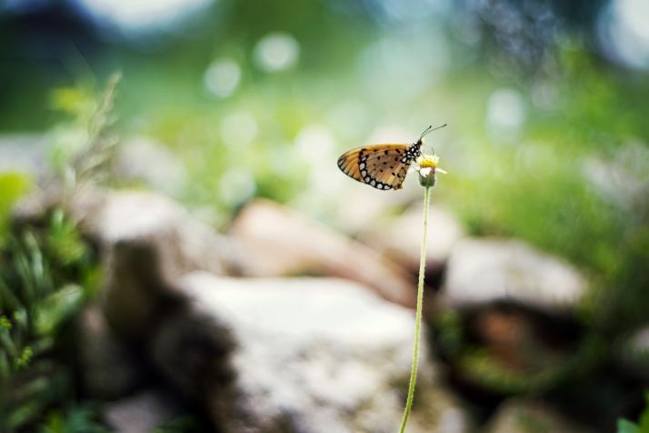 Butterfly, Dandelion