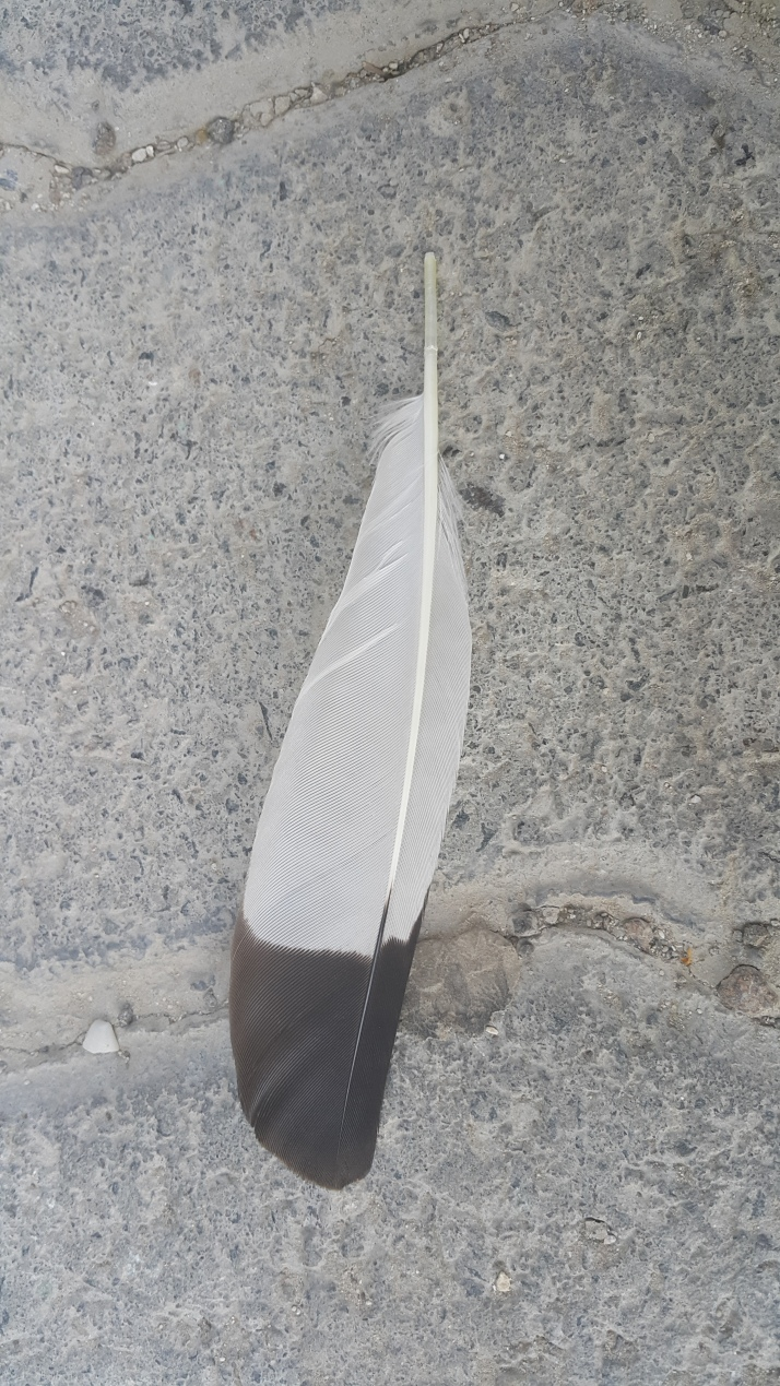 Bird Plume, Feather, Pigeon, Nature