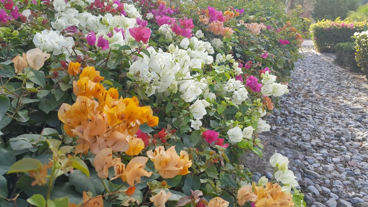 Flowers, Bougainvillea, Blooms