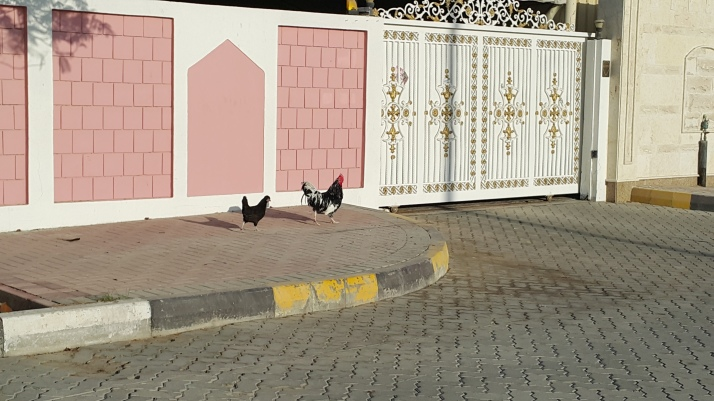 Picture story, Why did the chicken cross the road, nature, poultry